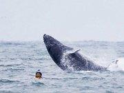 重座头鲸跃出水面掀翻皮划艇