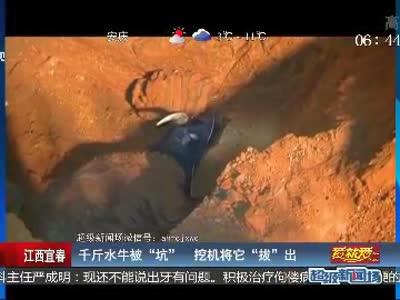 """[视频]江西宜春 千斤水牛被""""坑""""挖机将它""""拔""""出"""