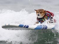 艺高胆大!狗狗参加冲浪比赛变身弄潮儿