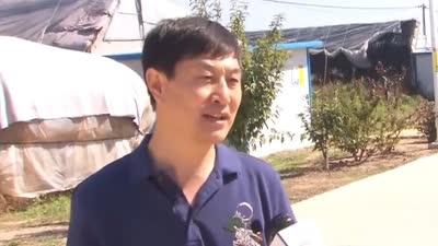 范家村发展现代农业变化大 嫁接出的特产金丝王大枣