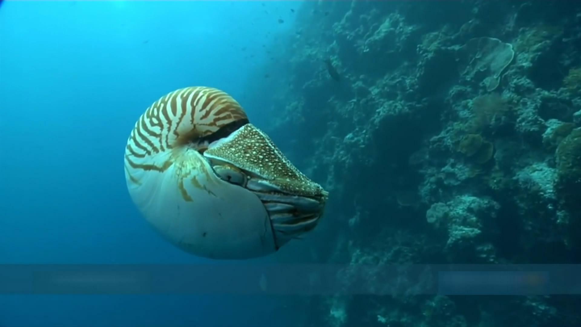 比恐龙更古老的活化石 远古海洋生物鹦鹉螺
