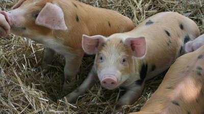 水貂养好靠细心新技术 猪行回暖生猪价格走俏