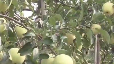三年小树挂满果 珍果奇树扎堆种