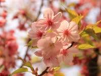 武汉马拉松开跑在即 烂漫樱花季率先开启