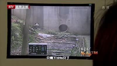 超萌熊猫放归山林遇阻