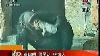动物过冬:温室里的猩猩