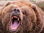 野外露营突遇大棕熊袭击
