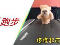 吸引妹纸必杀技:跑步机上西施犬Cosplay泰迪熊