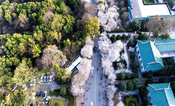 航拍武汉大学樱花初绽迎客