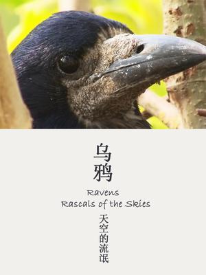 乌鸦——天空的流氓