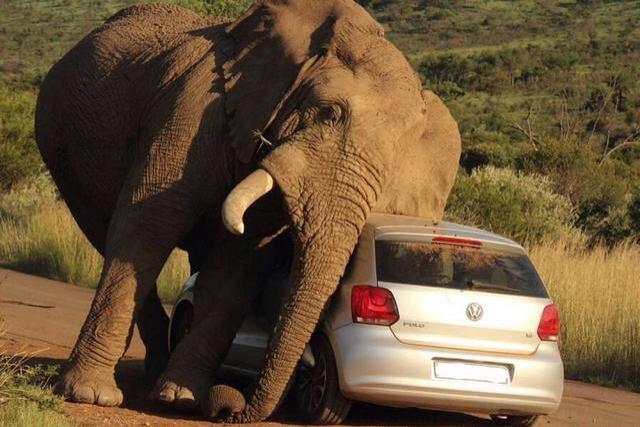 第一名;雄性非洲象,公象是地球上最危险的动物(没有之一),公象仇视