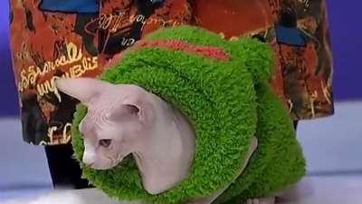 无毛猫天生怕冷