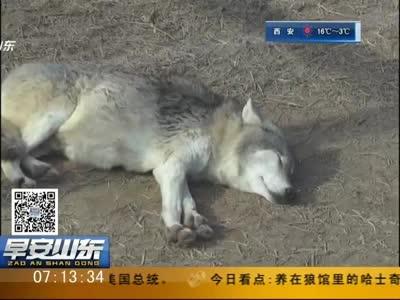 [视频]德州:动植物园狼馆混进哈士奇