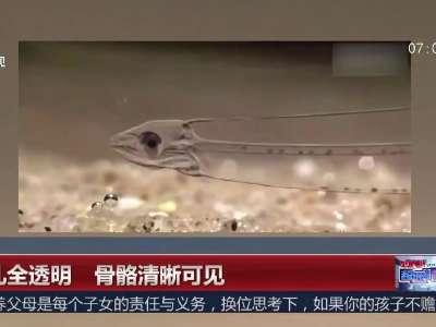 [视频]鱼儿全透明 骨骼清晰可见