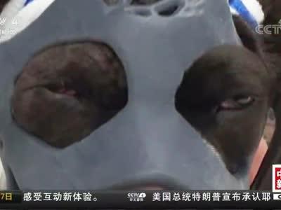 [视频]3D面罩帮小狗恢复面部损伤