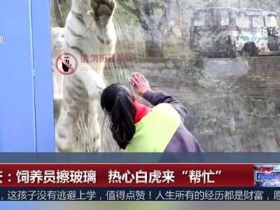"""[视频]重庆:饲养员擦玻璃 热心白虎来""""帮忙"""""""