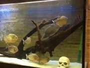 实拍食人鱼的鱼缸放条鲫鱼