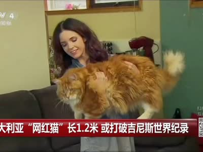 """[视频]澳大利亚""""网红猫""""长1.2米 或打破吉尼斯世界纪录"""