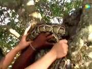小孩树在树上玩耍,发现有条蟒蛇在树上,小孩居然徒手抓蟒蛇