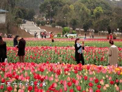 """[微视频]湖南省植物园:郁金香""""花海""""扮靓春天"""
