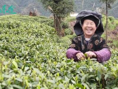 行色乐途:保靖·黄金茶