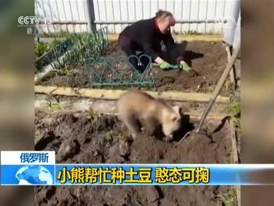 [视频]俄罗斯:小熊帮忙种土豆 憨态可掬