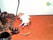 测试响尾蛇的毒性,老鼠被咬一口居然瞬间丧命