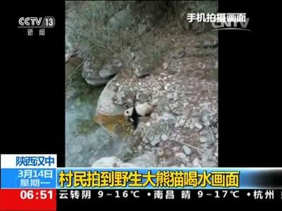 [视频]陕西汉中:村民拍到野生大熊猫喝水画面