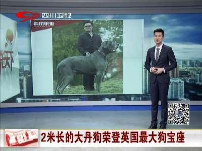 [视频]霸道的萌感:2米长的大丹狗荣登英国最大狗宝座