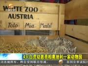 4只白虎幼崽亮相奥地利一家动物园