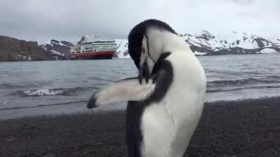 企鹅展翅梳理皮毛
