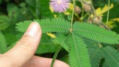 拈花惹草导致生命危险 夹竹桃含羞草要远离啦