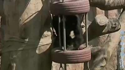 猩猩的幸福生活