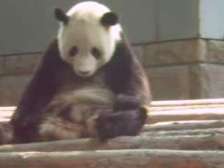 打瞌睡的大熊猫真是可爱至极啊