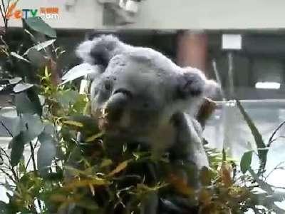日本动物园里可爱的考拉