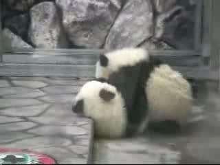 实拍俩可爱熊猫宝宝摔跤镜头