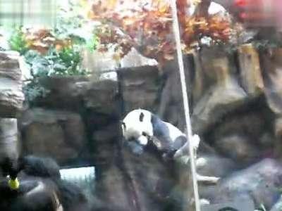 北京动物园大熊猫- 在线观看